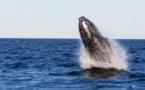 Santuario para ballenas en el Atlántico Sur se debatirá en reunión internacional