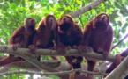 Cien años después, los monos aulladores vuelven a la selva de Rio