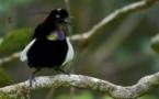 El ave del paraíso, la más negra