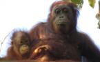 Drástico retroceso del orangután de Borneo