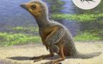Polluelo de 127 millones de años arroja luz sobre evolución de aves