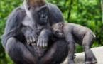 Hay más gorilas y chimpancés viviendo en libertad de lo que se creía