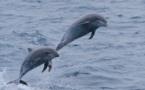 """Estudio: Los delfines usan """"nombres propios"""" para reconocerse"""